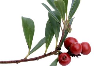 Zdravilne rastline: Vednozeleni gornik