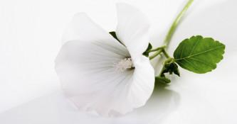 Zdravilne rastline: Slez